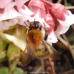 Ackerhummel - Königin im Frühjahr bei der Nahrungsaufnahme - unser Garten