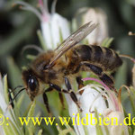 Das drittwichtigste Haustier auf der ganzen Erde - die Honigbiene