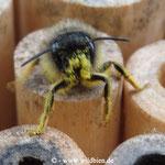 Mauerbiene verschwindet in der Brutröhre zur Eiablage