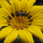 Mittagsblume mit Wildbiene