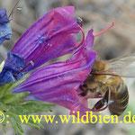 Honigbiene am Natternkopf - Seitenansicht