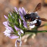 Wildbiene, Chalicodoma canescens auf Hornklee