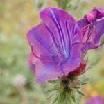 Blüte vom Natternkopf, Wegerichblättriger NK