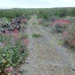 Wanderweg von blühendem Ampfer gesäumt
