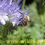 Bienenweide - Phacelia mit Wiesenhummel - polilektisch