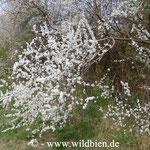 Schlehenbusch in Blüte: Die Nahrungspflanzen sind die wichtigste Unterstützungsmassnahme