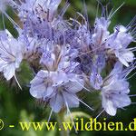 Bienenweide - Phacelia: die universellste Bienenfutterpflanze