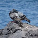 Taubenpäärchen