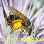 Hosenbiene mit Pollenladung auf Diestelblüte