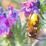 Bienenwolf kurz vor Abflug mit Beute