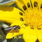 Hosenbiene kommt zum Pollensammeln: Eiweißnahrung für ihren Nachwuchs