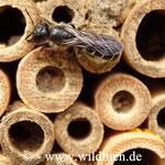 Hahnenfuss Scherenbiene - Osmia florisomnis: