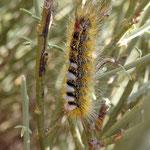 Una larva con un insecto - cerca El Teide