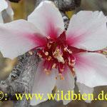 Mandelblüte - Pollen und Nektar bilden die Nahrungsgrundlage der Wildbienen u.a.m.