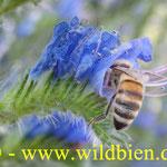 Natternkopf - Eichium vulgare mit Honigbiene - Apis mellifera - polilektisch