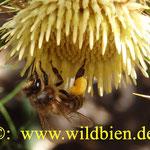 La abeja del miel, el tercero importante animal del mundo
