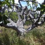 Feigenbaum Geäst