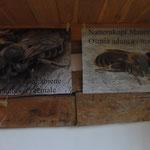 Schwerpunktthema Natternkopf Mauerbiene - regional bereits ausgestorben!!