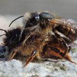Gehörnte Mauerbiene - Osmia cornuta: Pärchen im Paarungsvorgang