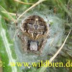 Spinne im Nest - ernährt sich von Insekten; auch von den unter Naturschutz stehenden Wildbienen