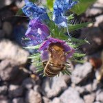 Honigbiene, Apis mellifera: am Natternkopf