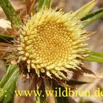 Un flor, la mesa del comer por las abejas