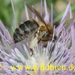 Apis mellifera - die Honigbiene; das 3.- wichtigste Haustier auf der ganzen Welt!!
