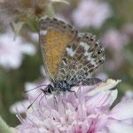 Mariposa - Schmetterling - Bläuling auf Chrysantheme
