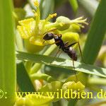 Ameise - hält Mahlzeit in einer Blüte vom Drachenbaum