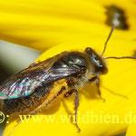 Hosenbiene - weil sie den Pollen (trocken) in einem Höschen einträgt