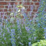 Natternkopf - Eichium vulgare und Lavendel; Teilansicht meiner Blumenwiese