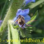 Natternkopf - Eichium vulgare