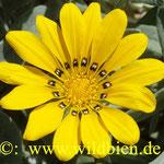 Ringelblume - Pollenlieferant erster Ordnung