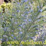 Natternkopf - Eichium vulgare: Staudenansicht