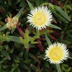 Blütenstand der Kristallmittagsblume - Mesembryanthemum crystallinum