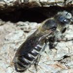 NatternkopfMauerbiene - Osmia adunca - Weibchen/female