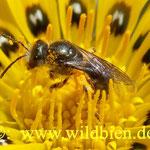 Hosenbiene - braucht in dieser Blüte nur noch wenige Pollenträger abernten