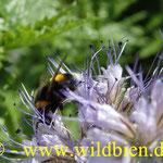 Bienenweide - Phacelia mit Erdhummel - polilektisch