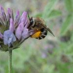 Wildbiene auf Hornklee