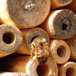 Rostrote Mauerbiene - Osmia bicornis: am Eingang ihrer Brutröhre = Nest