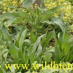 Spitzwegerich - Jungpflanzen