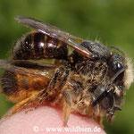 Gehörnte Mauerbiene - Osmia cornuta: Pärchen im Paarungsvorgang friedlich auf meiner Fingerkuppe
