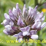 Hornklee - wichtige Bienenfutterpflanze