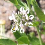 Blattschneiderbiene auf Hornklee