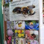 Schwerpunktthema war die regional ausgestorbene Natternkopf Mauerbiene