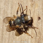 Rostrote Mauerbiene - Männchen - am Wildbienenhaus - braucht eine kleine Flugpause