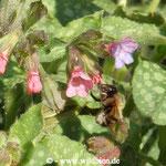 Pelzbiene an Lungenkraut, eine ihrer bevorzugten Nahrungspflanzen