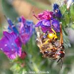 Bienenwolf mit gefangener Beute