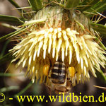 La abeja del miel - Honigbiene - Apis melllifera