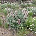 Grünlicher Natternkopf - Echium virescens DC.